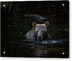 Grizzly Swimmer Acrylic Print