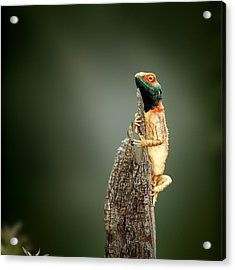 Ground Agama Sunbathing Acrylic Print by Johan Swanepoel