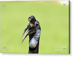 Ground Hornbill Acrylic Print by David & Micha Sheldon