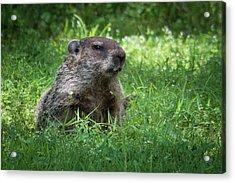 Groundhog Posing  Acrylic Print
