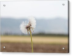 Groundsel In The Wind Acrylic Print