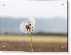 Groundsel In The Wind Acrylic Print by Yoel Koskas