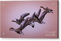 Acrylic Print featuring the photograph  Group Flight  by Franziskus Pfleghart