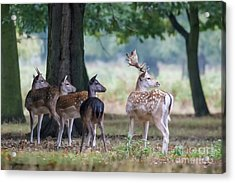 Group Of Four Fallow Deer - Dama Dama - Startled By Something On T Acrylic Print