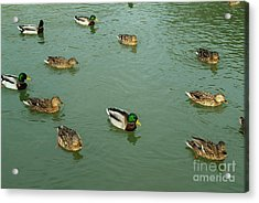 Group Of Male And Female Ducks On The Water Acrylic Print by Sami Sarkis