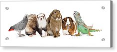 Group Of Small Domestic Pets Over White Acrylic Print