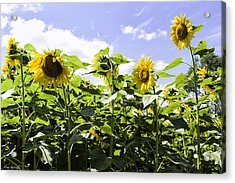 Group Of Sunflowers Acrylic Print by Fran Gallogly