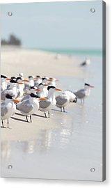 Group Of Terns On Sandy Beach Acrylic Print by Angela Auclair
