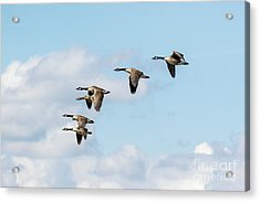 Group Or Gaggle Of Canada Geese - Branta Canadensis - Flying, In F Acrylic Print