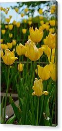 Grouping Of Yellow Tulips Acrylic Print
