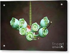 Growing Blueberries Acrylic Print
