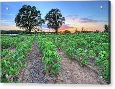 Growing Cotton Acrylic Print by JC Findley