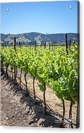 Growing Grapes, Winery In Casablanca Valley, Chile Acrylic Print by Anna Soelberg
