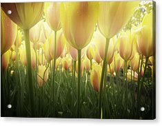 Growing  Tulips  Acrylic Print