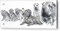 Growing Up Chinese Shar-pei Acrylic Print