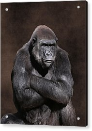 Grumpy Gorilla Acrylic Print