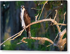 Grumpy Osprey Not Ready For Its Picture Acrylic Print by Andres Leon