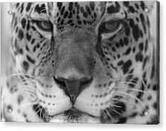 Grumpy Tiger  Acrylic Print