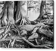 Guadalupe Bald Cypress In Black And White Acrylic Print