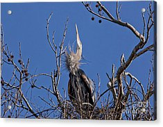 Guarding The Nest. Acrylic Print by Geraldine DeBoer