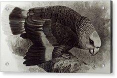 Guilding's Amazon Parrot,  Acrylic Print