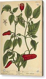Guinea Pepper, Medicinal Plant, 1737 Acrylic Print