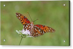 Gulf Fritillary On Elephantsfoot Acrylic Print