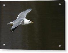 Gull - Goeland Acrylic Print