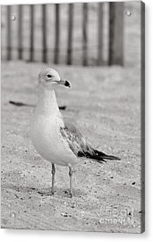 Land Sea And Sky Series Gull Acrylic Print by Angela Rath