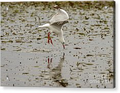 Gull Fishing 01 Acrylic Print
