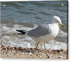 Gull Strolling The Shore Acrylic Print by Margie Avellino
