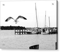Gull Wing Acrylic Print