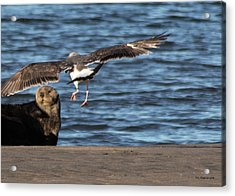 Acrylic Print featuring the photograph Gull With Sea Otter Photobomb by Lora Lee Chapman