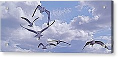 Gulls Will Be Gulls Acrylic Print by Mike Shepley DA Edin