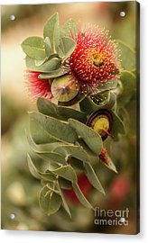 Acrylic Print featuring the photograph Gum Nuts by Werner Padarin