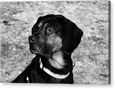 Gus - Black And White Acrylic Print