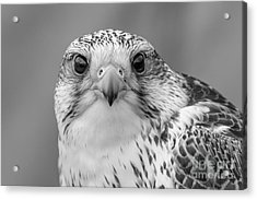 Gyr Falcon Portrait In Black And White Acrylic Print