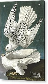 Gyrfalcon Acrylic Print by Pg Reproductions