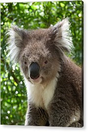 Handsome Male Victorian Koala Acrylic Print by Margaret Saheed