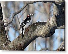 Hairy Woodpecker Acrylic Print by Bonnie Brann