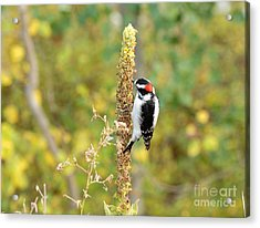 Hairy Woodpecker Acrylic Print by Dennis Hammer
