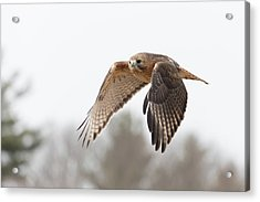 Hal Takes Flight Acrylic Print