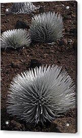 Haleakala Silverswords Acrylic Print