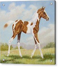 Half Arabian Pinto Filly Acrylic Print by Dorothy Coatsworth