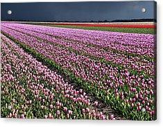 Half Side Purple Tulip Field Acrylic Print by Mihaela Pater