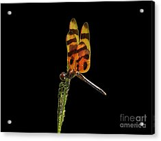 Acrylic Print featuring the photograph Halloween Pennant Dragonfly .png by Al Powell Photography USA