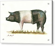 Hampshire Pig Acrylic Print