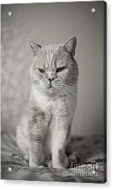 Acrylic Print featuring the photograph Handsome Cat by Aiolos Greek Collections