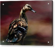 Handsome Duck Acrylic Print