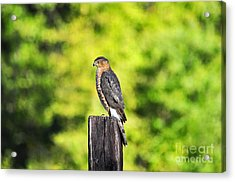 Acrylic Print featuring the photograph Handsome Hawk by Al Powell Photography USA